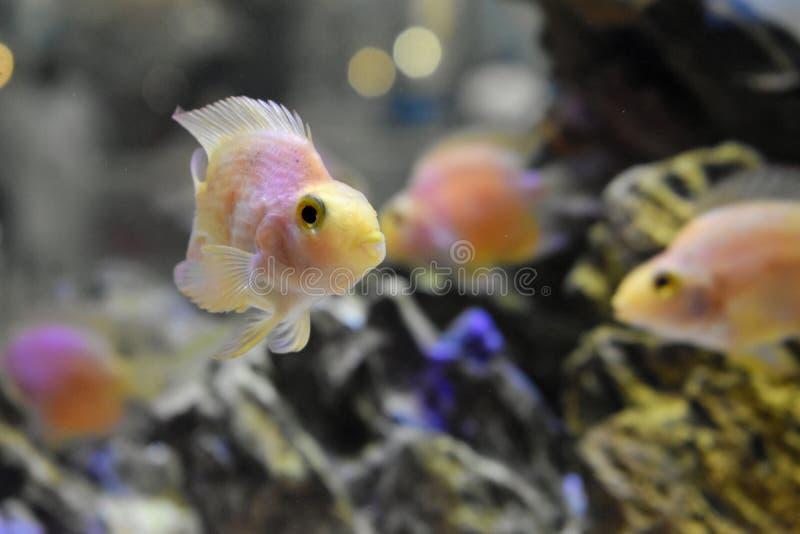En färgfisk i ett akvarium arkivfoto