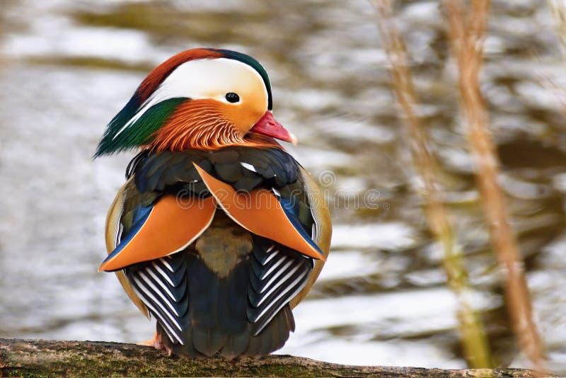 En färgglad manlig mandarinand Aix Galericulata royaltyfria bilder