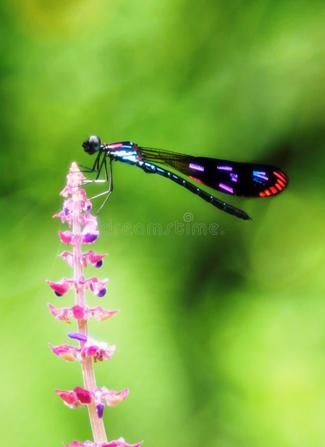 En färgrik damselfly på den rosaaktiga blomman arkivfoto