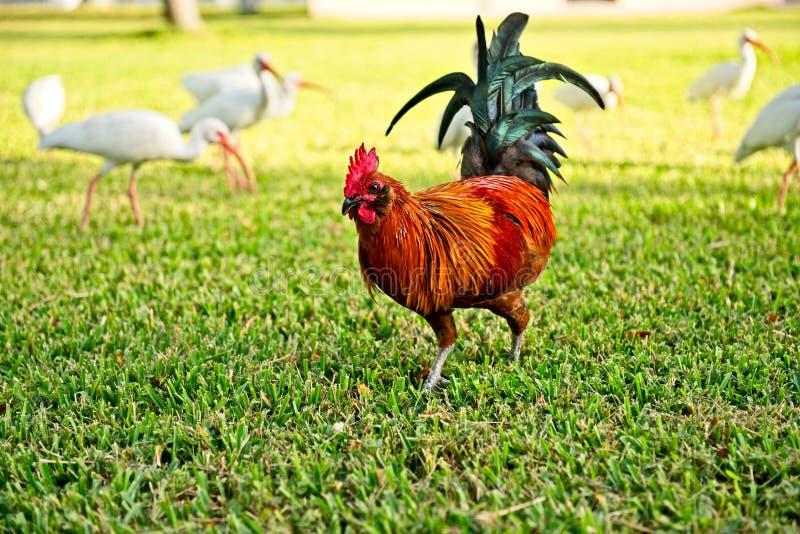 En färgrik röd tupp visar hans svarta svansfjädrar, som han går bort i ett gräs- fält royaltyfria bilder