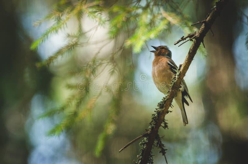 En fågel är sjungande på en filial royaltyfri foto