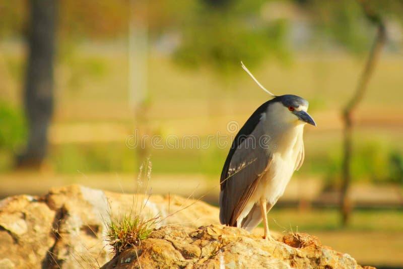 En fågel kallade Savacu på en vagga royaltyfri fotografi