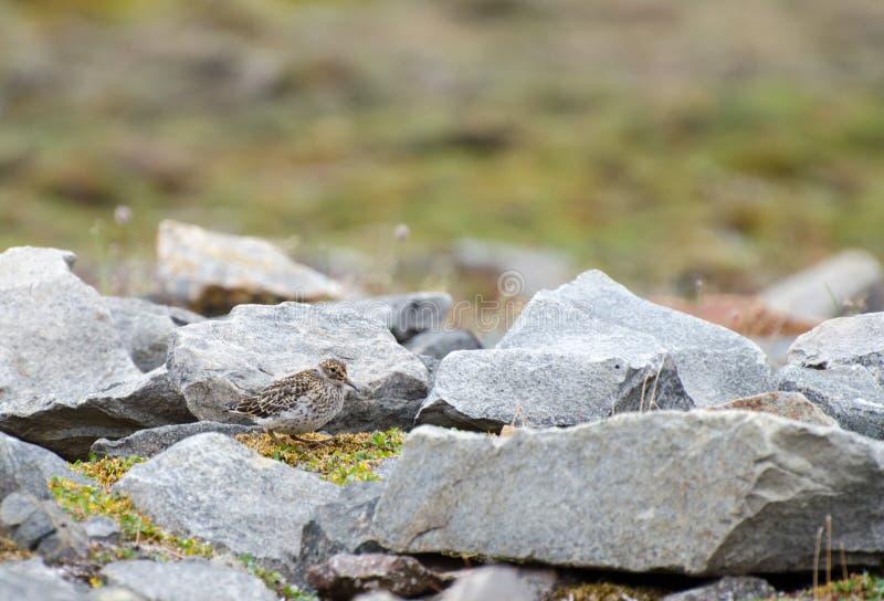 En fågel mellan vaggar arkivfoton