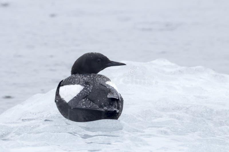 En fågel, svart sillgrissla som sitter på ett mycket litet isberg royaltyfri fotografi