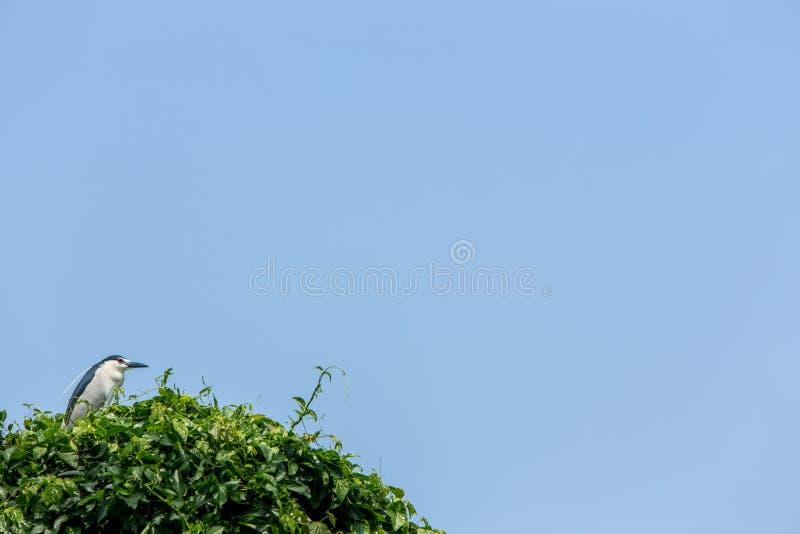 En fågelNycticoraxNycticorax som svart-krönas natthäger på träden royaltyfria bilder