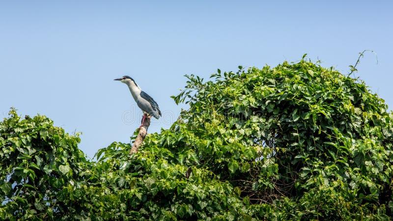 En fågelNycticoraxNycticorax som svart-krönas natthäger på träden royaltyfri bild