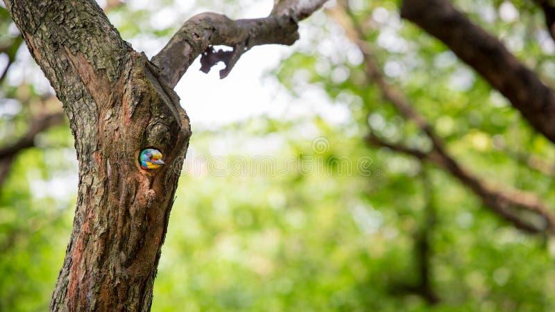 En fågelTaiwan Barbet i hålredet på trädet på Taiwan Daan Forest Park arkivfoto