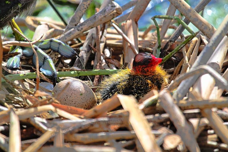 En fågelunge för amerikansk sothöna i ett rede bredvid ett annat ägg royaltyfria foton