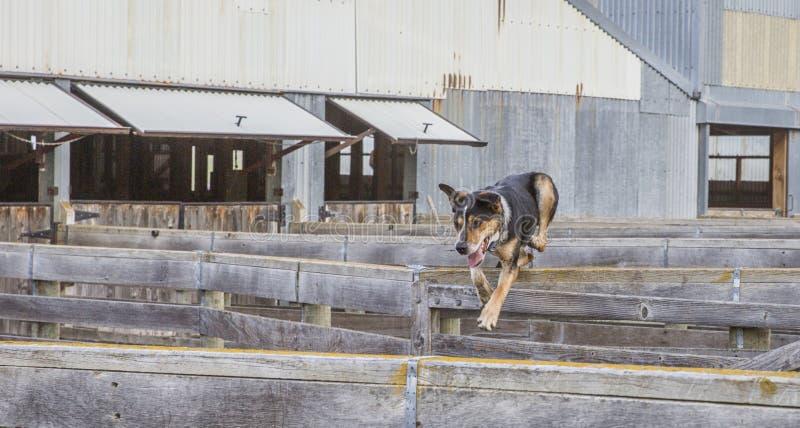En fårhund hoppar över kreatursinhägnadfäktning royaltyfria bilder
