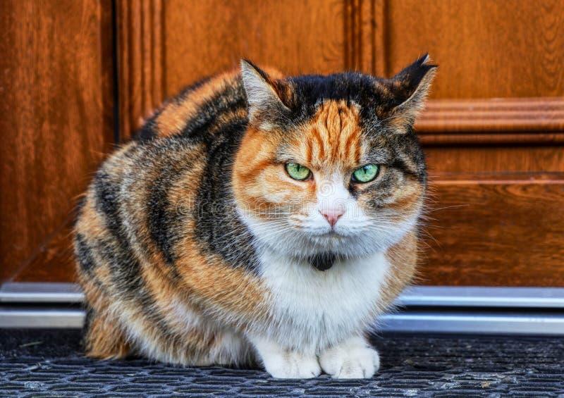 En förargad blick för inhemsk katt på kameran En kattunge som sitter på dörrmattan för hem- dörr Tryck på aldrig henne Gräsplan s arkivbilder