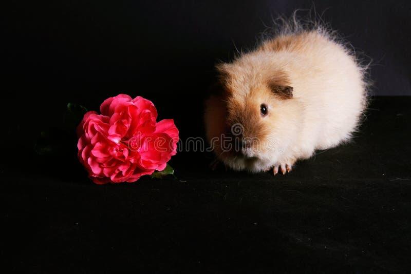 En försökskanin som cutely sitter i studion bredvid en rosa färgros royaltyfri bild