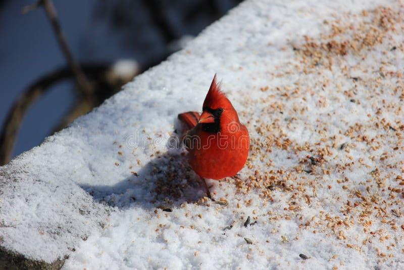 En försiktig kardinal som ut kontrollerar mig arkivbilder