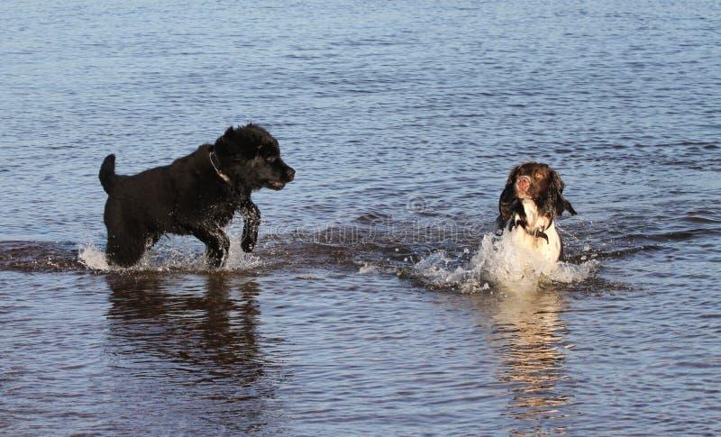 En förtjusande hund för spaniel för engelsk Springer och en gulliga Newfoundland dog valpen som spelar i havet i Skottland royaltyfria bilder
