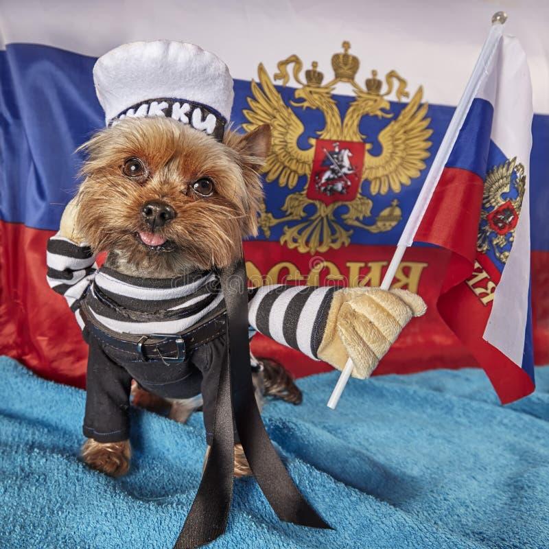 En förtjusande liten gammal Yorkshire Terrier valp med ett patriotiskt tema på flaggabakgrund arkivfoto