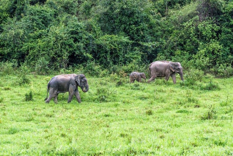 En familie die van Aziatische Olifant gras voor voedsel in het bos Nationale Park van Kui Buri lopen kijken thailand stock foto