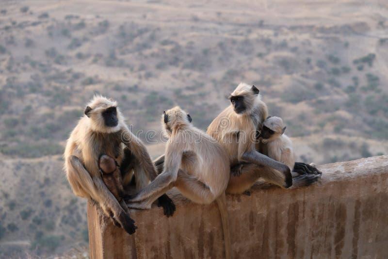 En familj av apor f?r svarta framsidor, Indien arkivbild