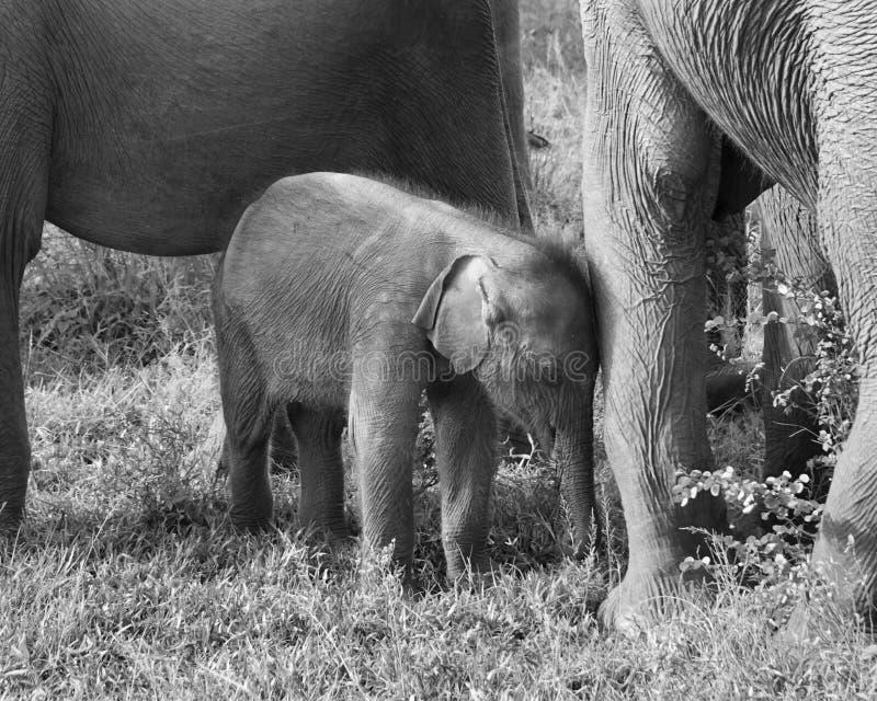 En familj av att älska elefanter arkivbild