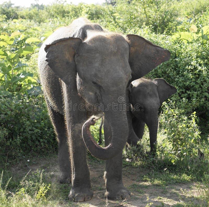 En familj av att älska elefanter arkivfoto