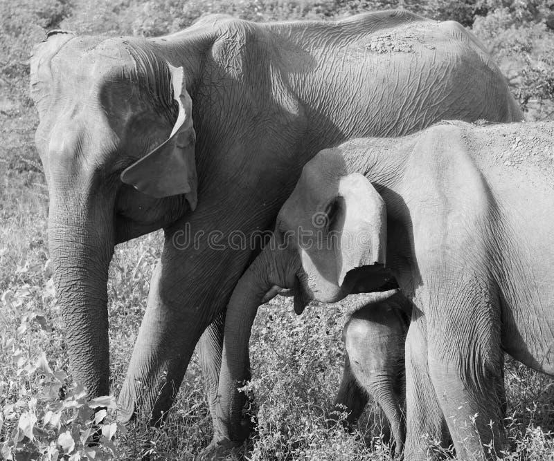 En familj av att älska elefanter royaltyfria foton