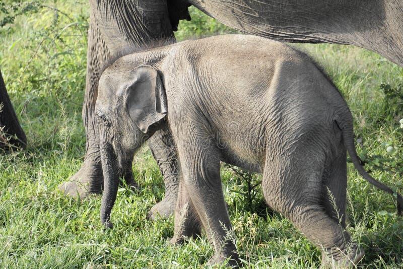 En familj av att älska elefanter royaltyfria bilder