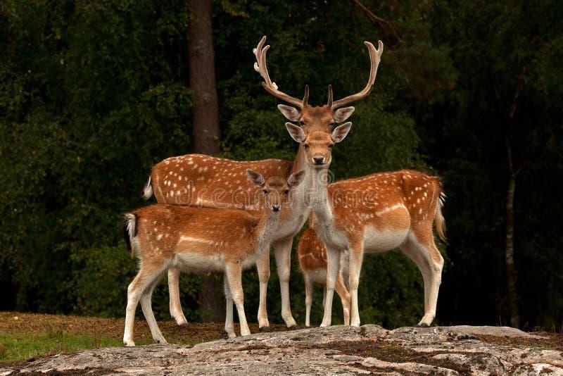 En familj av dovhjortar, med doen, lismar och sparkar bakut i en skog i Sverige
