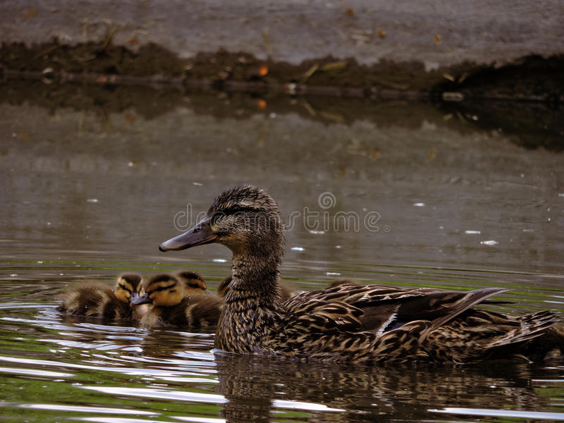 En familj av gemensam fågel royaltyfria foton
