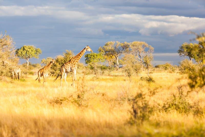 En familj av giraffet i Kruger parkerar royaltyfri foto