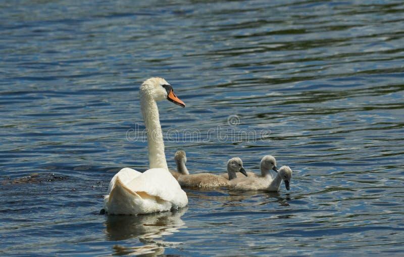En familj av unga svanen med hennes modersimning i ett skyddat område arkivbilder