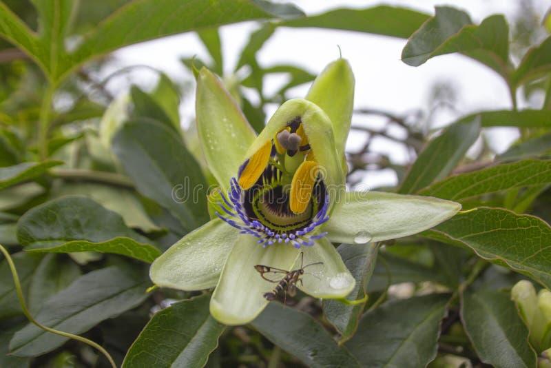 En fantastisk blomma, som upplöser dess sidor som besökas av ett kryp fotografering för bildbyråer