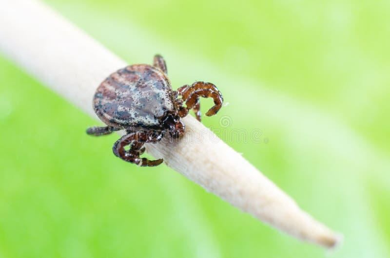 En farlig parasit och en bärare av kvalsterinfektion på en filial fotografering för bildbyråer