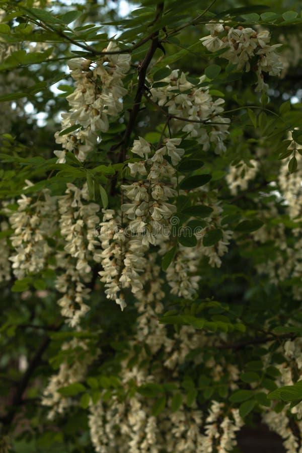 En filial av akacian beströs lushly med klungor av ljusa blommor i trädgården royaltyfria bilder