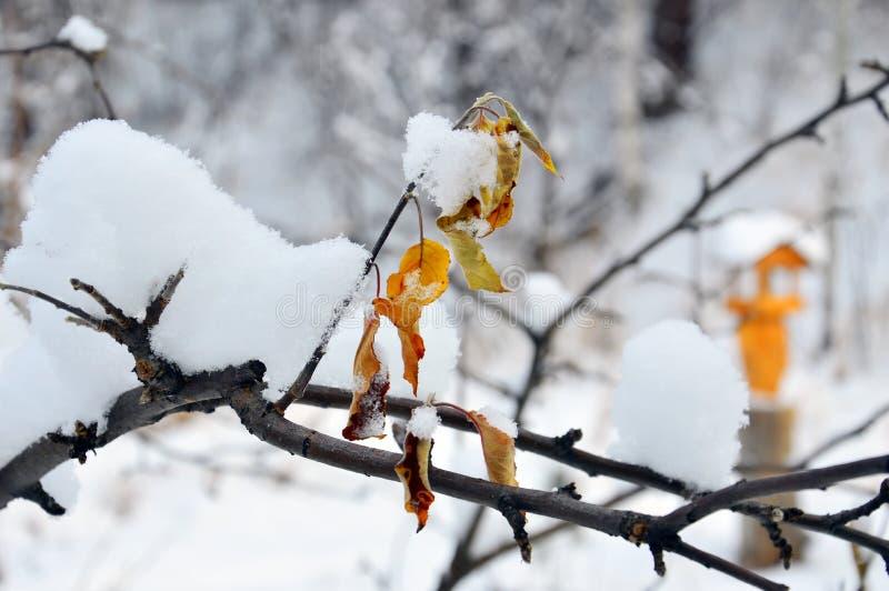 En filial av Apple träd i trädgården med gulingsidor som är dold med snö arkivfoto