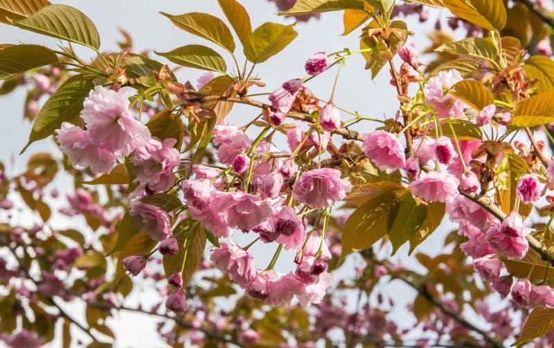 En filial av att blomstra rosa sakura mot himlen royaltyfria bilder