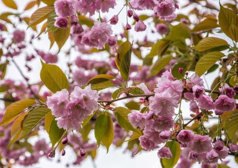 En filial av att blomstra rosa sakura mot himlen royaltyfri foto