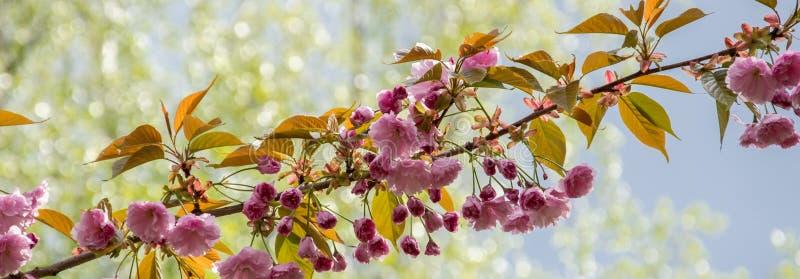 En filial av att blomstra rosa sakura p? bakgrunden av ung l?vverk arkivfoto