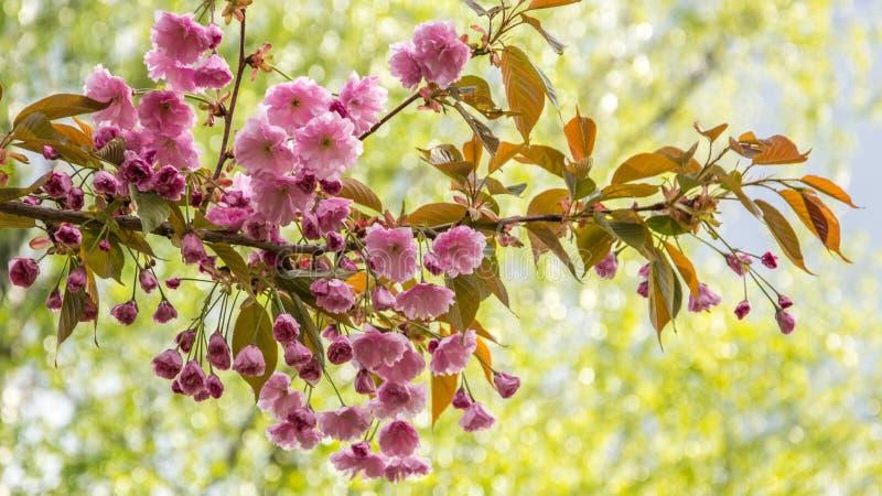 En filial av att blomstra rosa sakura p? bakgrunden av ung l?vverk arkivbilder