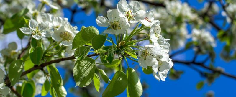 En filial av blomningträdet royaltyfri fotografi