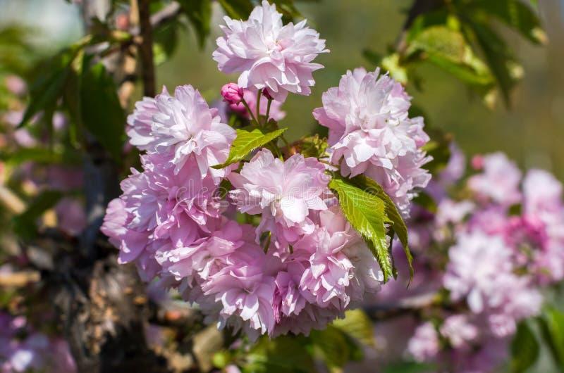 En filial av blomningträdet royaltyfri bild