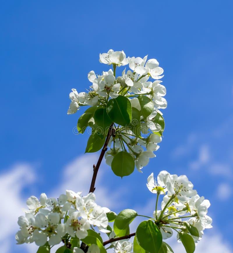 En filial av blomningträdet royaltyfria foton