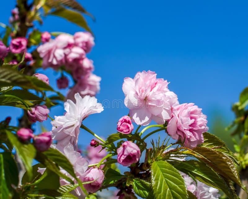 En filial av blomningträdet royaltyfri foto