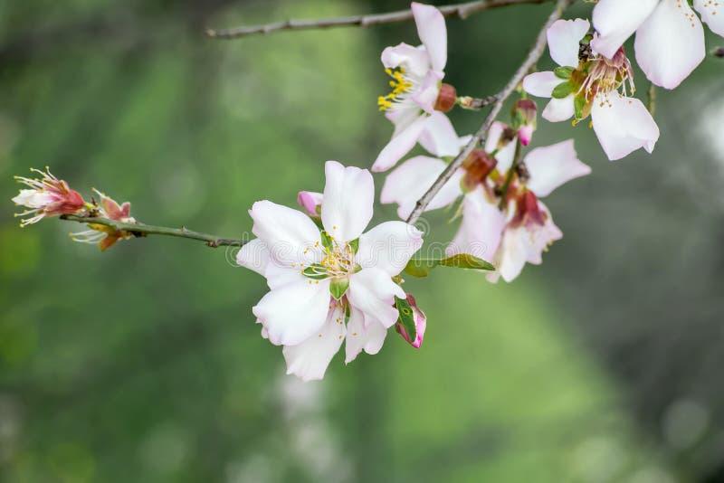 En filial av blomstra ett beautifully mandelträd Små vita rosa blommor för närbild med gula stamens, knoppar och sidor _ royaltyfria foton