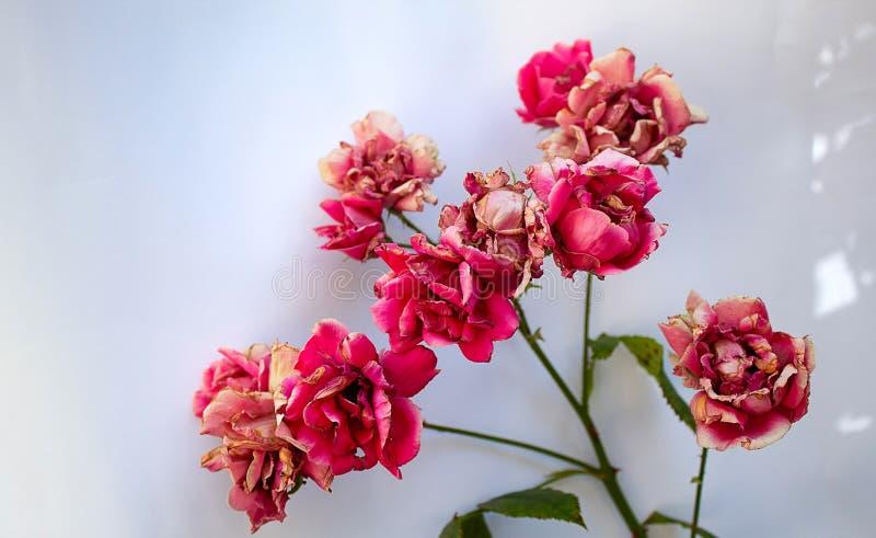 En filial av den röda urblekta rosen som isoleras på vit bakgrund royaltyfri bild