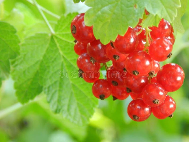En filial av den röda vinbäret royaltyfri fotografi