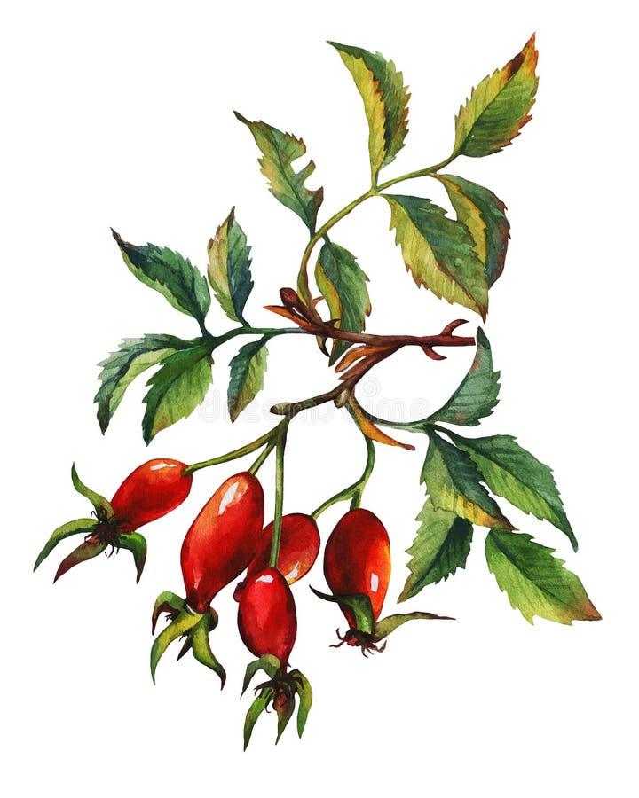 En filial av den rosa briaren för hund med röda bär och gräsplansidor royaltyfri illustrationer