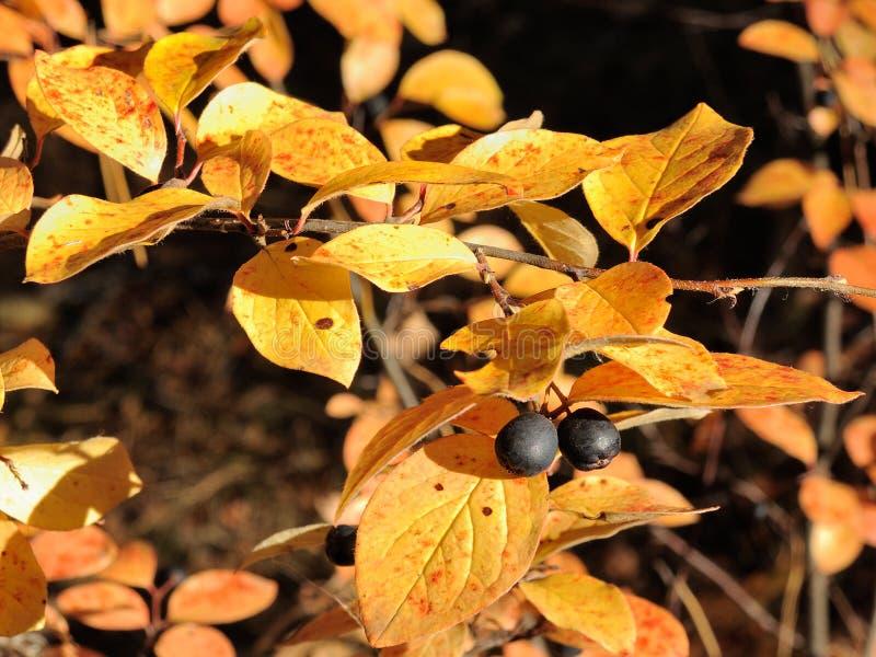 En filial av den svarta chokeberryen med ljusa gula sidor och svarta bär royaltyfria foton