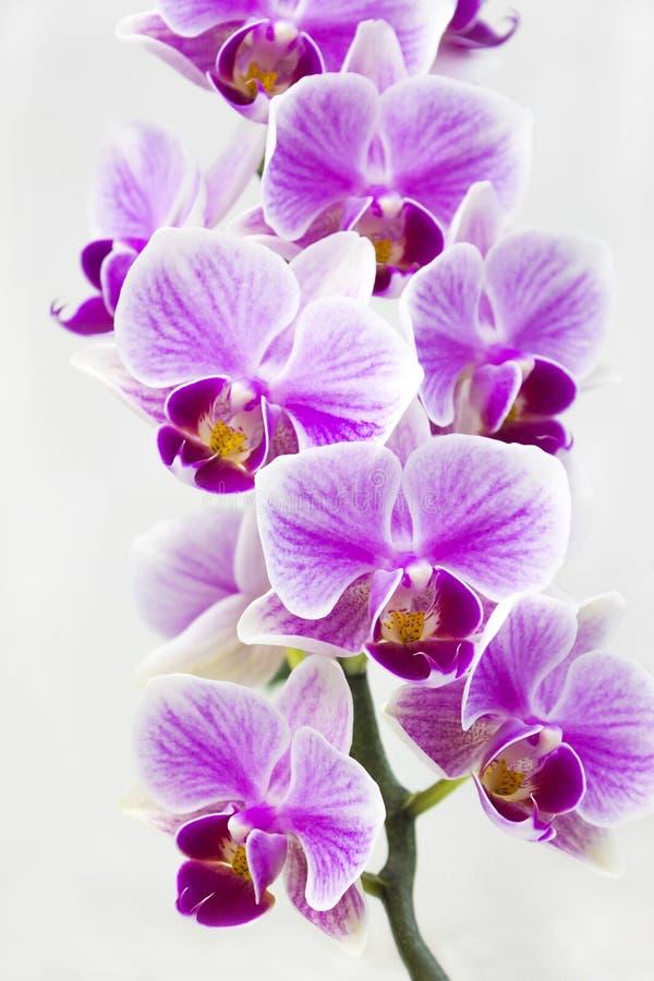 En filial av den vibrerande tropiska purpurfärgade orkidéblomman Härlig hem- bukett av den Thailand orkidén Selektiv mjuk fokus royaltyfria bilder