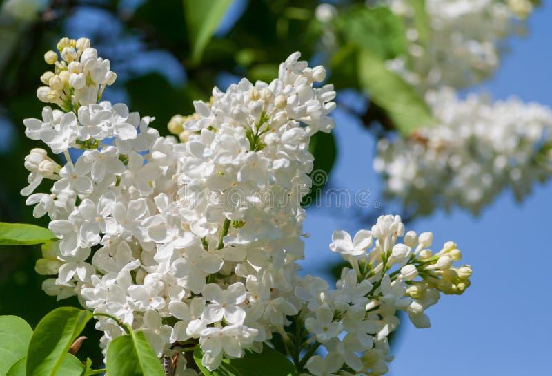 En filial av den vita lilan på en blå himmel royaltyfri bild