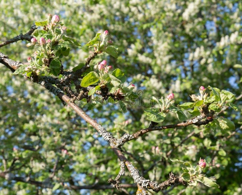 En filial av ett Apple träd, med unga gröna sidor och rosa blomstra blommor på en bakgrund av unga blomstra gräsplaner royaltyfria foton