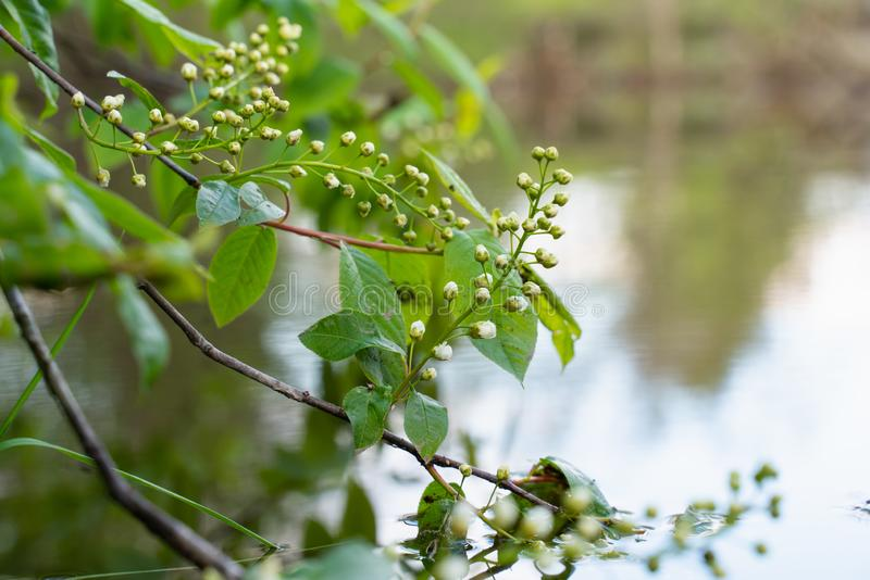 En filial av ett blomma kastanjebrunt träd ovanför vattenyttersidan royaltyfri fotografi