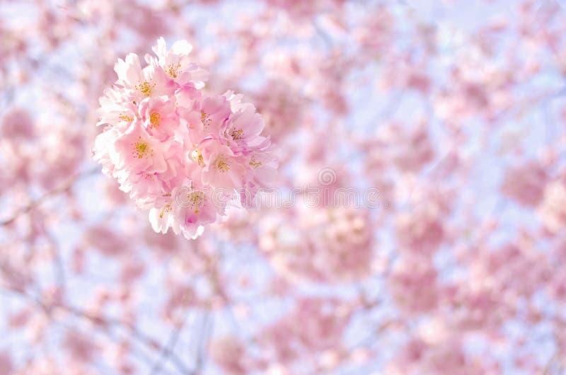 En filial av ett blomstra träd med rosa färger blommar mot den blåa himlen Trädgårds- härliga fält för pion av ranunculusen som ä royaltyfria foton